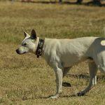 sinka, hungarian shepherd dog, while working
