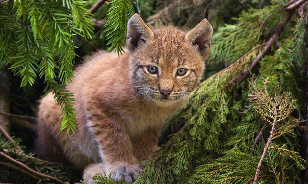 Wild animals return in Hungary