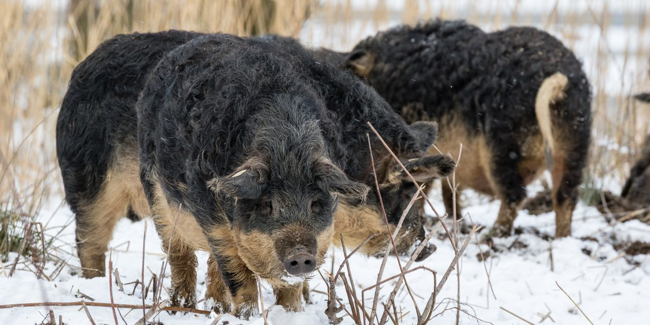 The pig breed for which Hungarians organise festivals: the famous Mangalica
