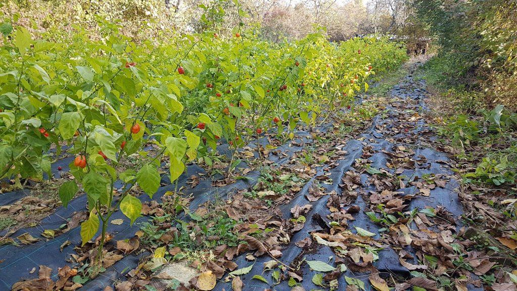 chili, field, crops, Gabko Chili, Hungary