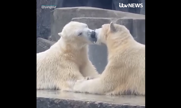 Kissing polar bears in the Budapest Zoo steal the show! – Video