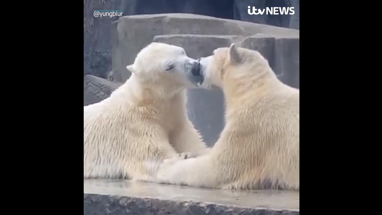 polar bears Budapest Zoo