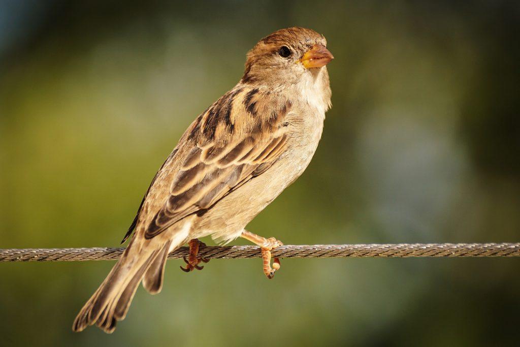 sparrow, bird, animal, Valentine, tradition