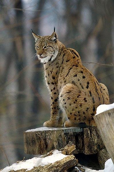 #hungary #hungarian #wild #nature #lynx