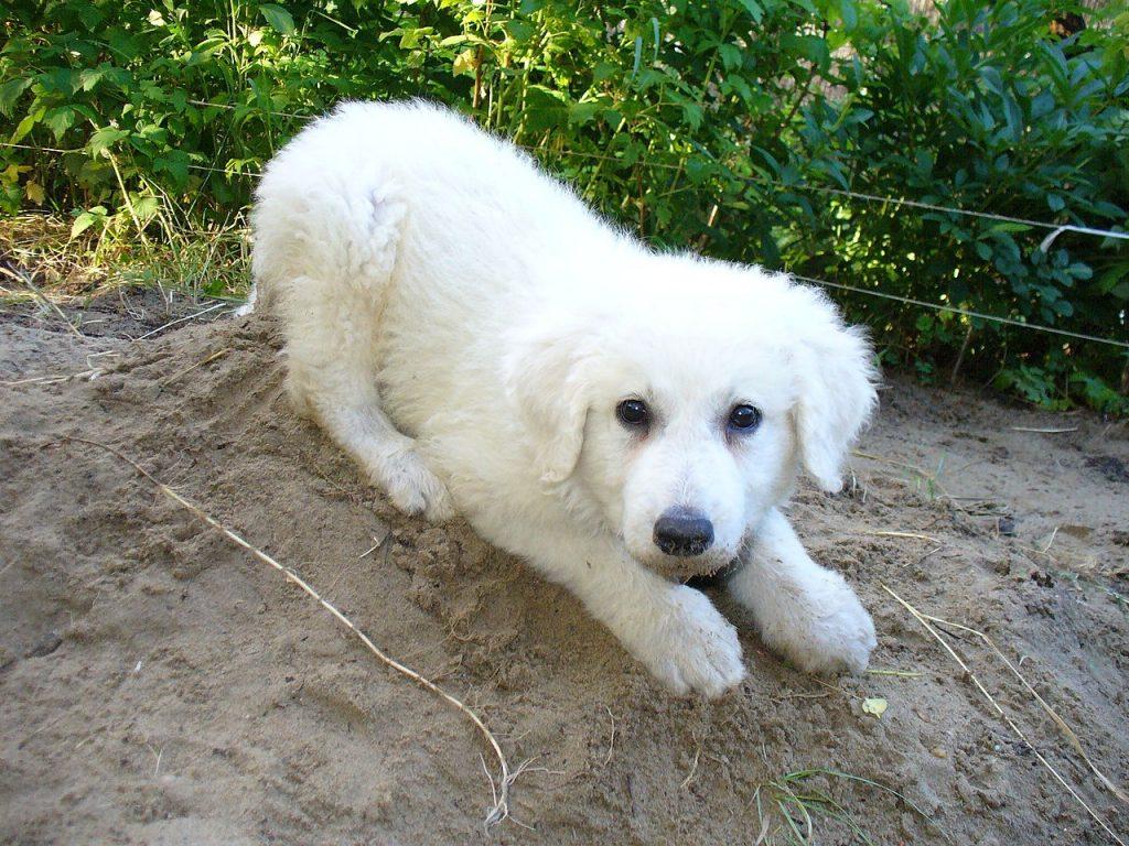 Kuvasz dog breed