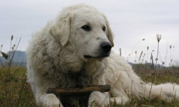 Famous Hungarian dog breed on the verge of extinction