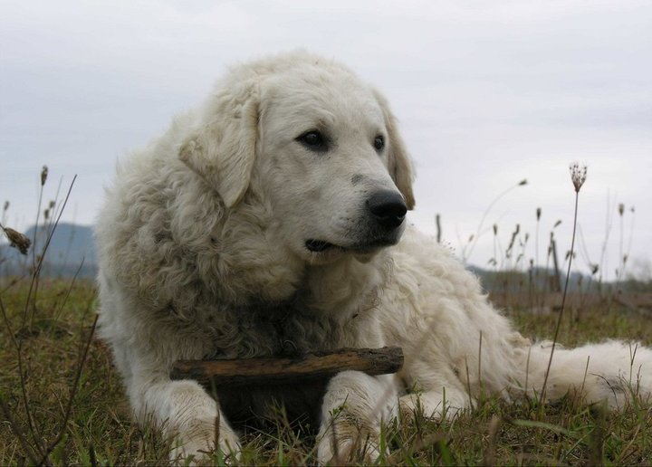 Kuvasz dog breed