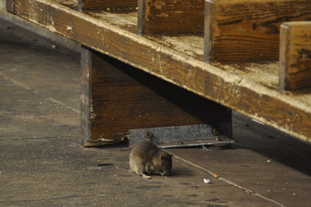 rat, animal, Budapest, Hungary, city