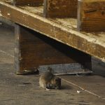 Mayor: Fewer rats in Budapest but still too many