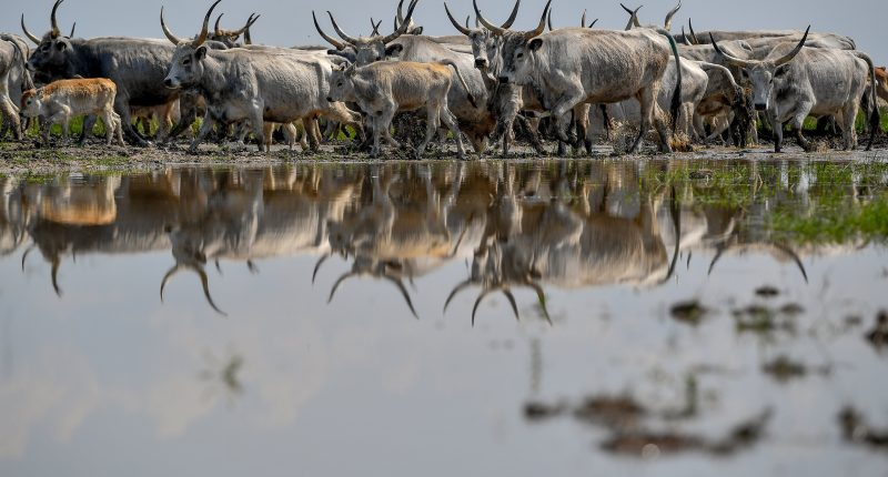 Herd of gray cattle in Hortobágy
