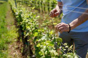 egri csillag wine vineyard Hungary