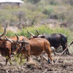 ethiopia africa agriculture