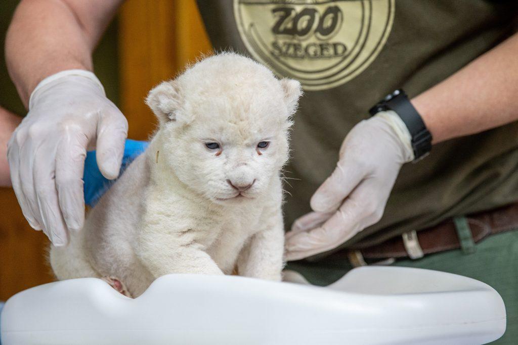 white lion cub szeged zoo
