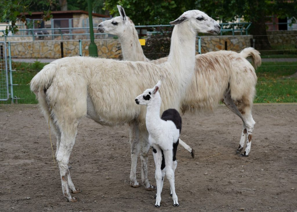 Yet another Newborn Llama at the Debrecen Zoo