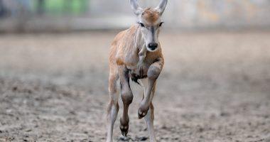baby antelope debrecen zoo