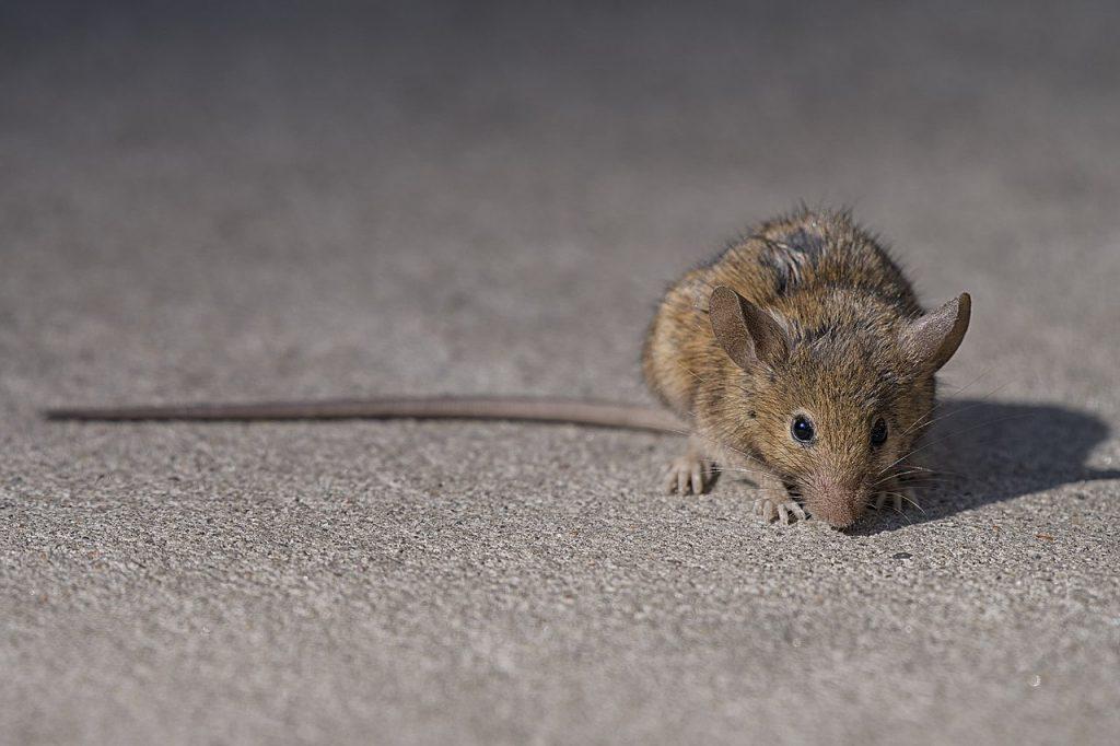 rat, brown, Budapest, Hungary