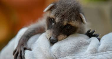 Daily cute - Newborn raccoon at the Debrecen Zoo