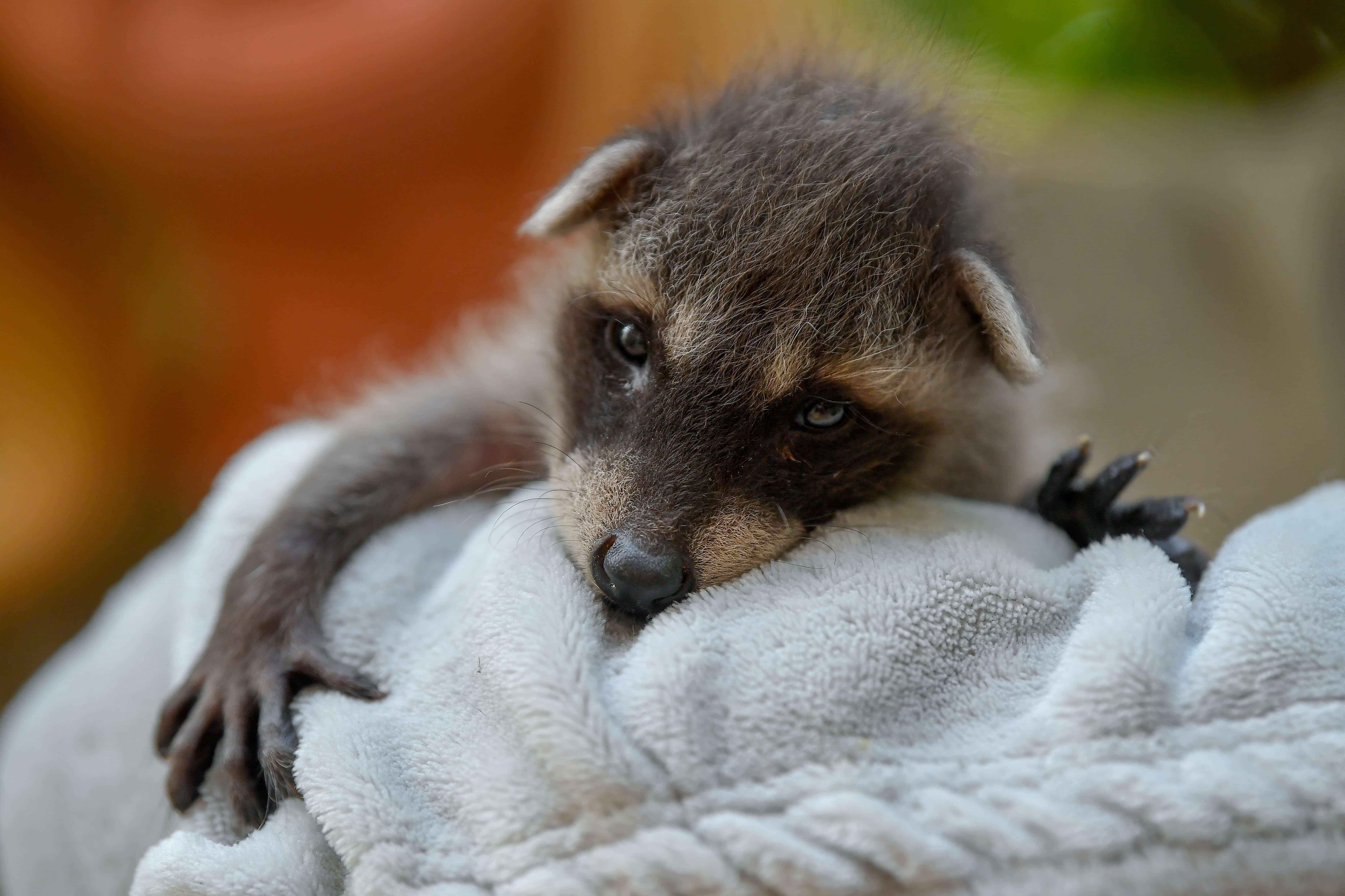 Daily cute - Newborn raccoon at the Debrecen Zoo