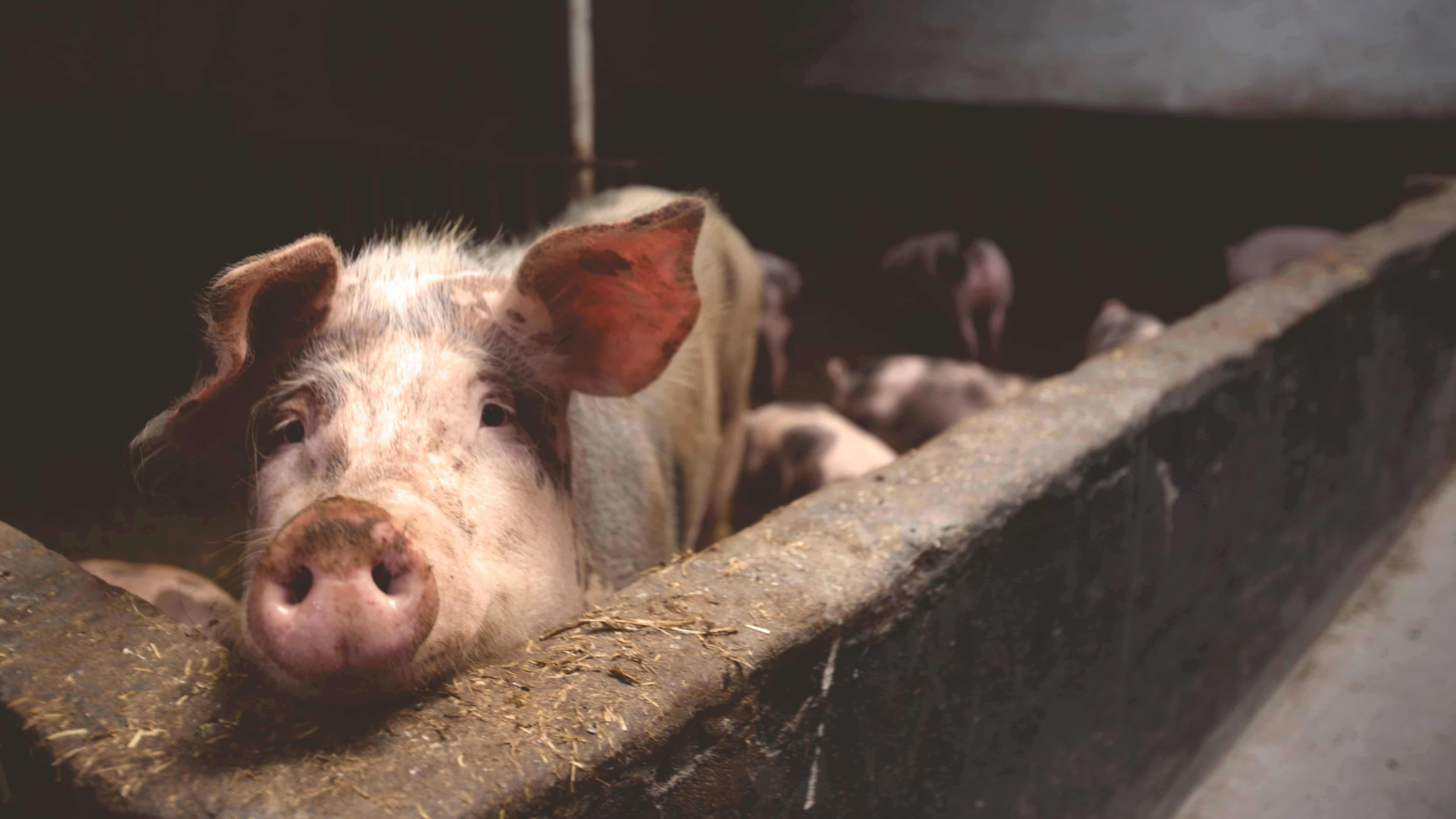 animal pig farming