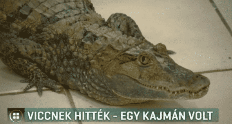 caiman hungary