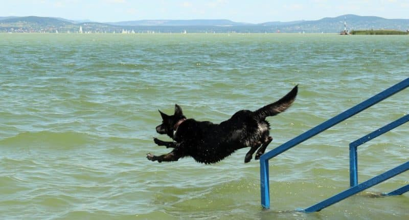 dog, pet, lake