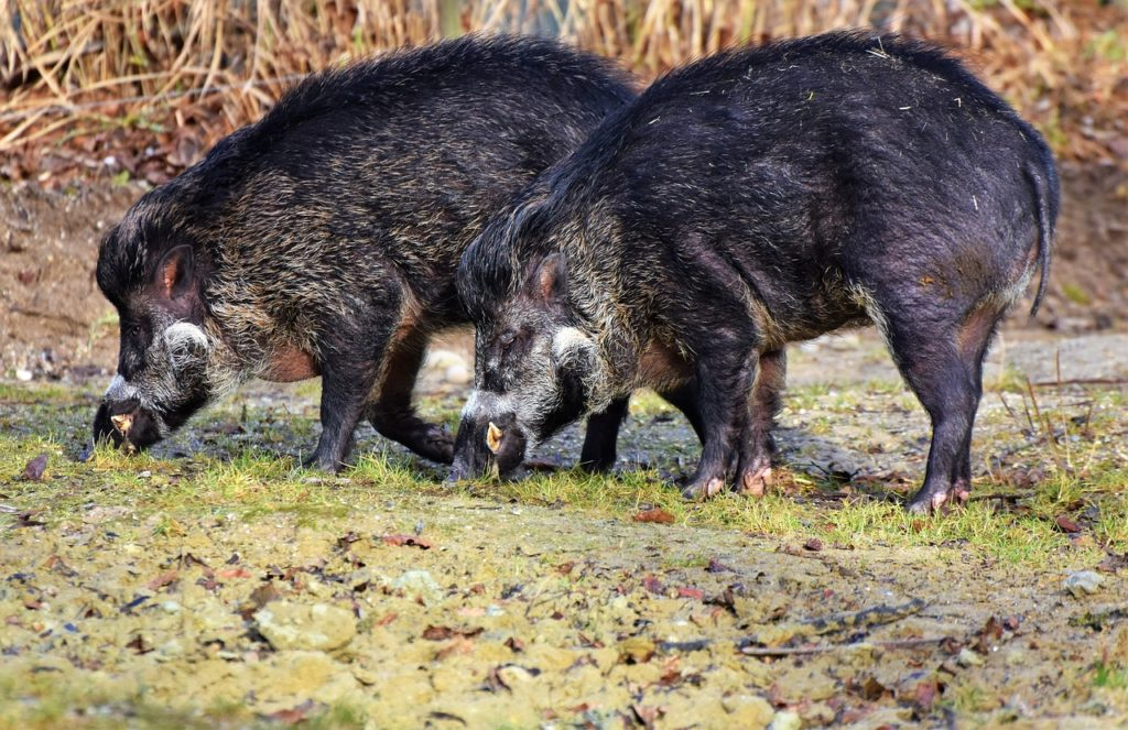 wild boar, animal, nature, Hungary