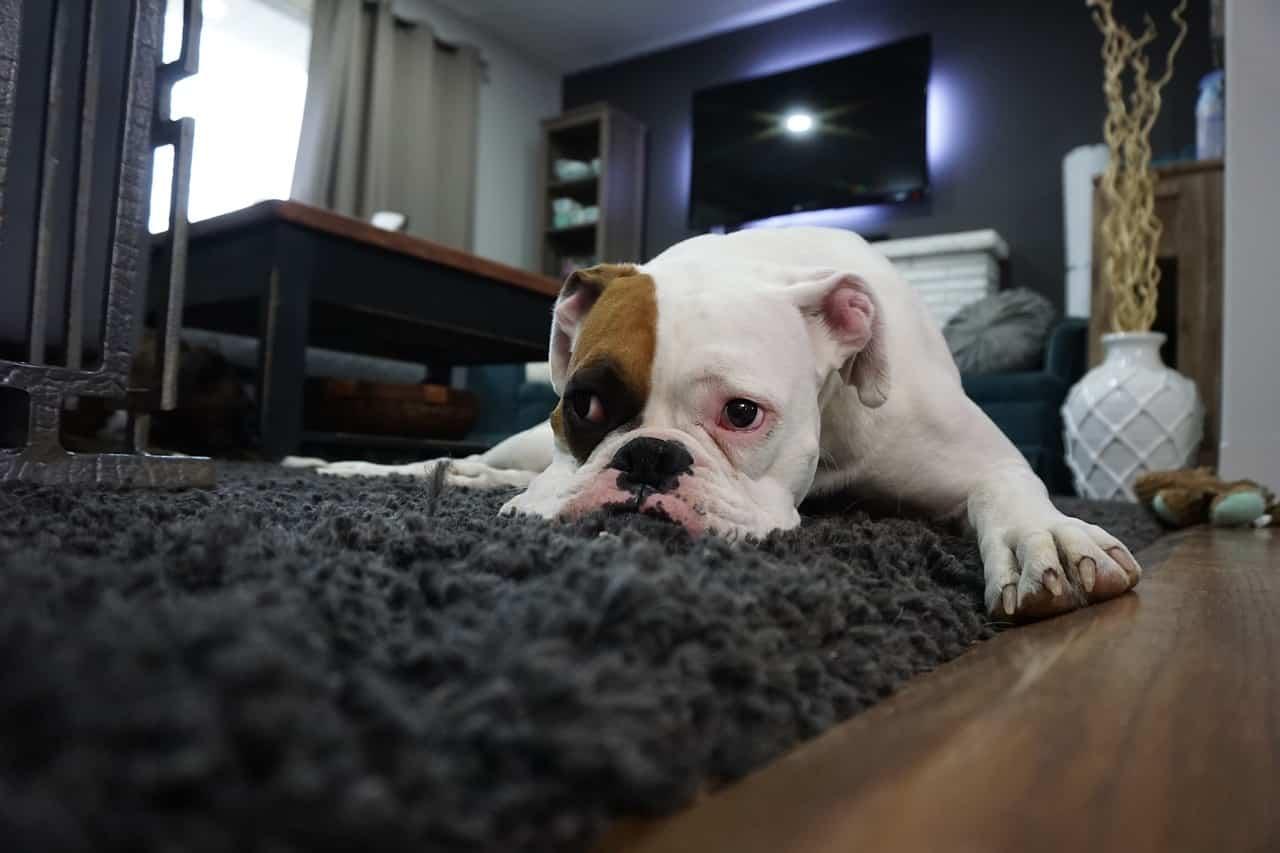 boxer carpet dog