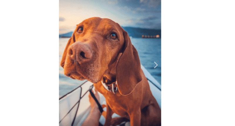 Hungary, dog, vizsla