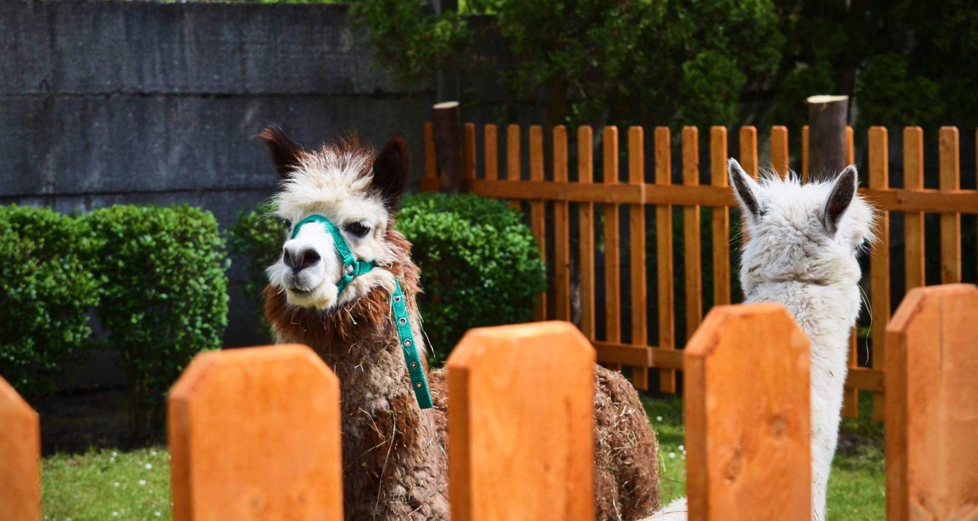 alpaca, animal, Hungary, farm