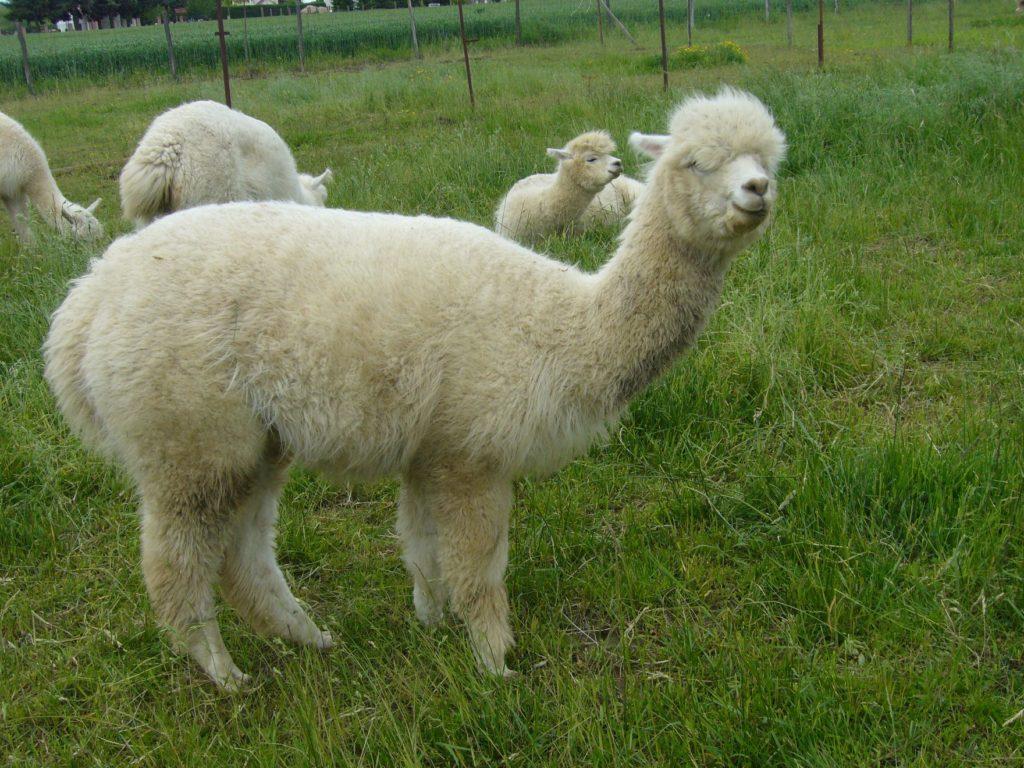 alpaca, animal, farm, Hungary