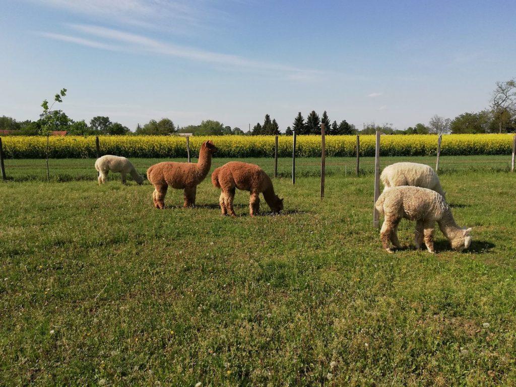 alpaca, farm, Hungary