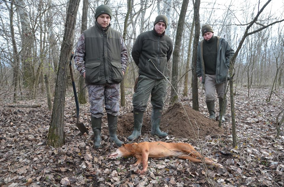 Hungarian Vizsla dog killed by a jackal in Hungary!