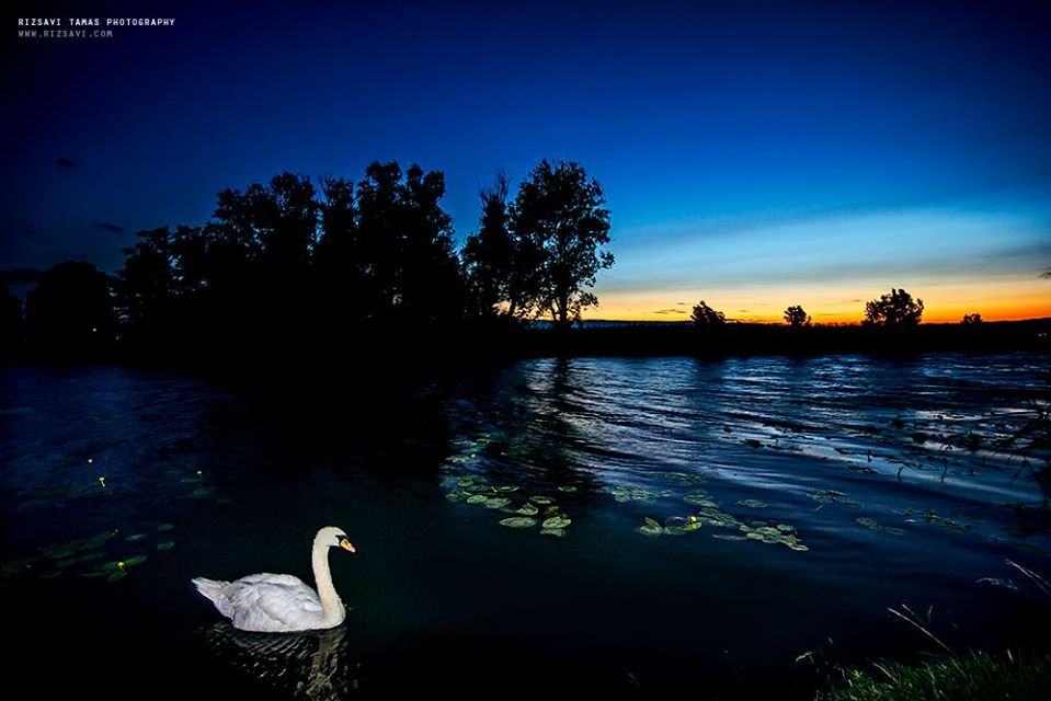 balaton swan twilight
