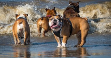 beach bulldog dog