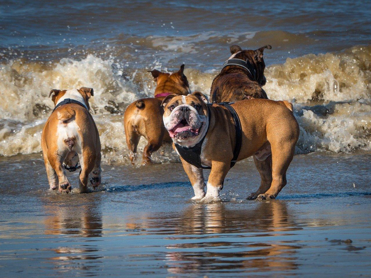 beach bulldog dog
