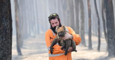koala-australia-bushfire