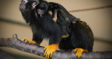 rsz_newbornnewborn_red-handed_tamarin_twins_at_debrecen_zoo_hungary_red-handed_tamarin_twins_at_debrecen_zoo_hungary
