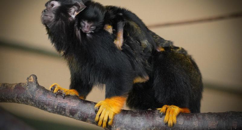 Newborn red-handed tamarin twins at Debrecen Zoo