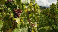 vineyards wine