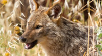 Golden jackal, animal, jackal, Hungary