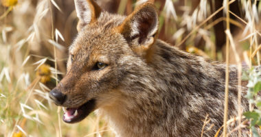 Golden jackal, animal, jackal, Hungary