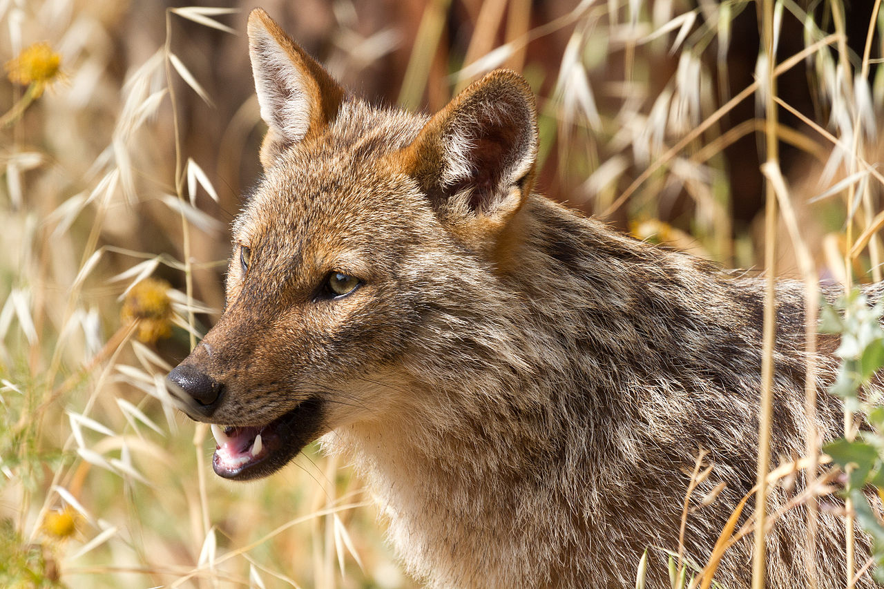 Jackals seen in South-Hungarian city of Pécs