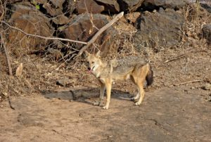 Jackal, golden jackal, animal, Hungary
