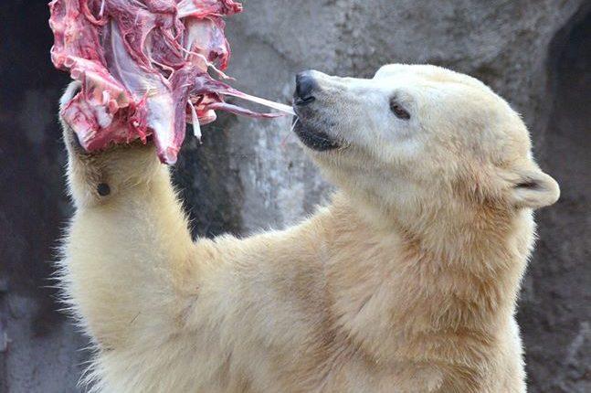 polar bear meat
