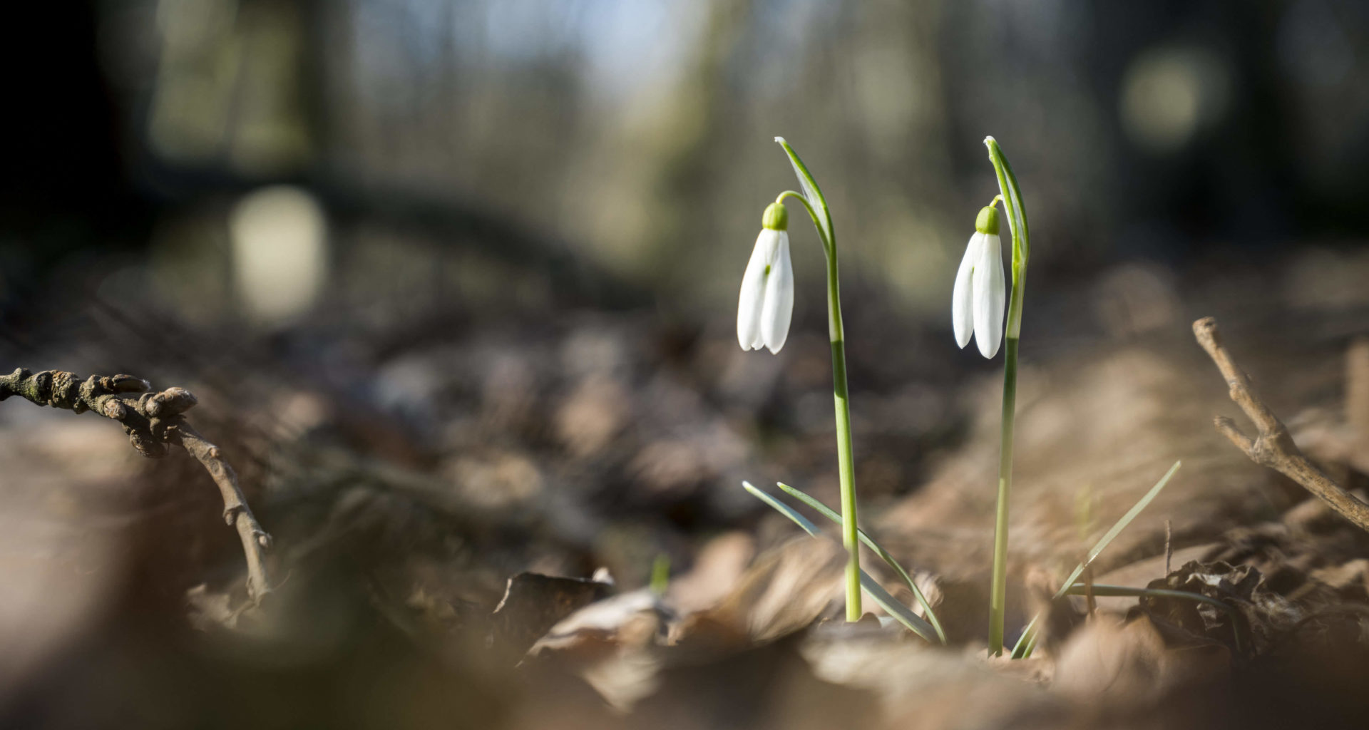 snowdrop nature