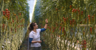 agriculture-Hungary-tomato