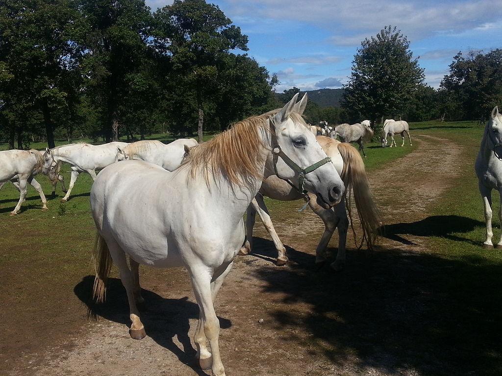lipicai ló lipizzan horse
