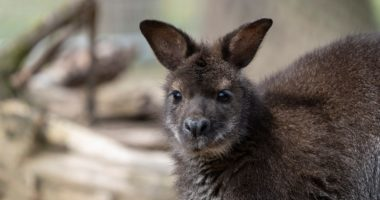Red-necked Wallabies Arrive at Debrecen Zoo (1)