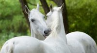 Lipizzaner husbandry, Hungarian string music traditions submitted for world heritage title