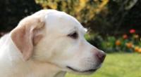 labrado pet dog animal